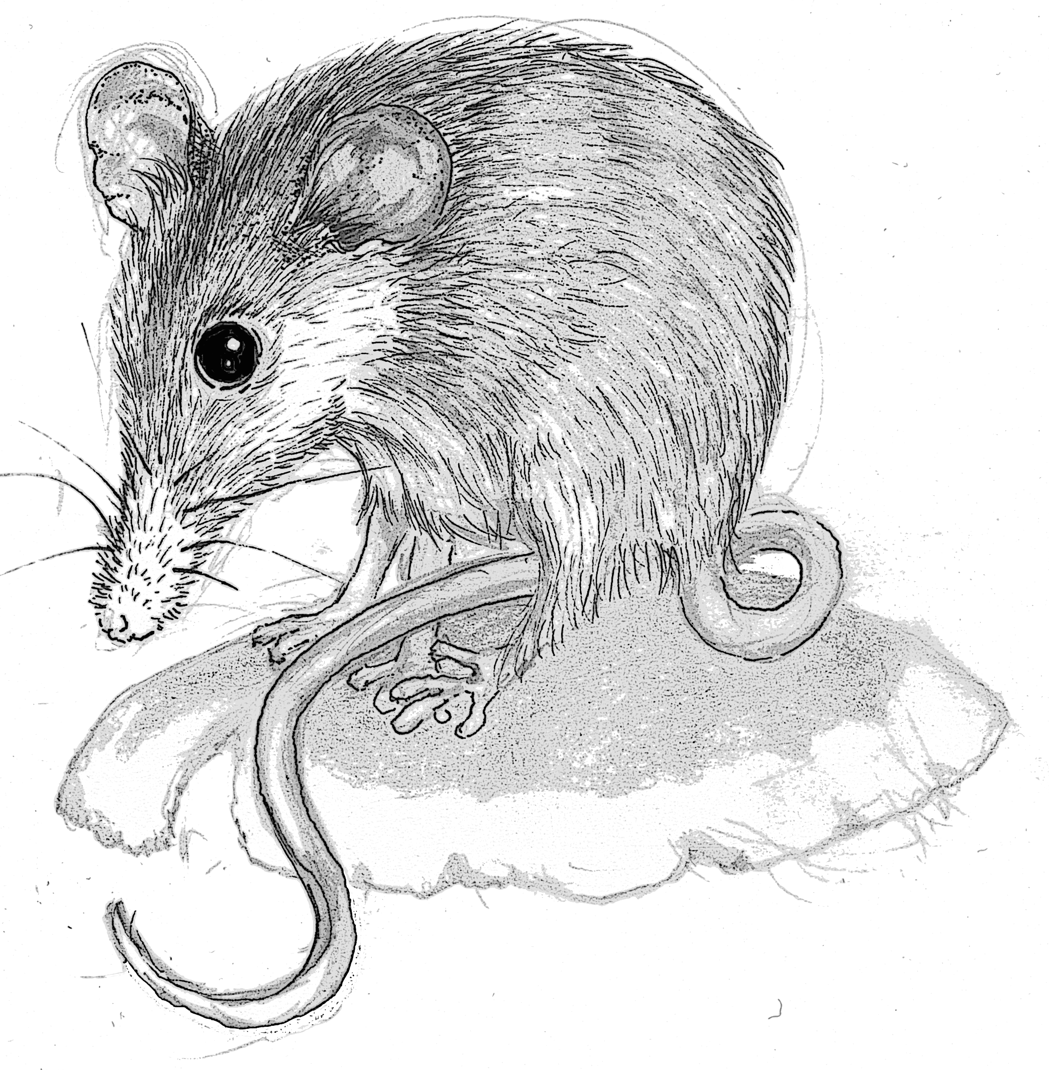 Honey Possum | lizbrownlee - poet