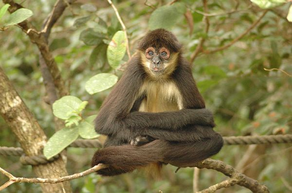 Spider_monkey_-Belize_Zoo-8b