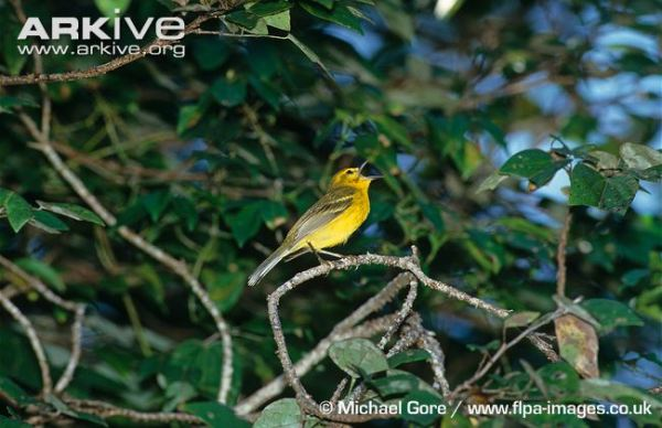 Vitelline-warbler-in-song
