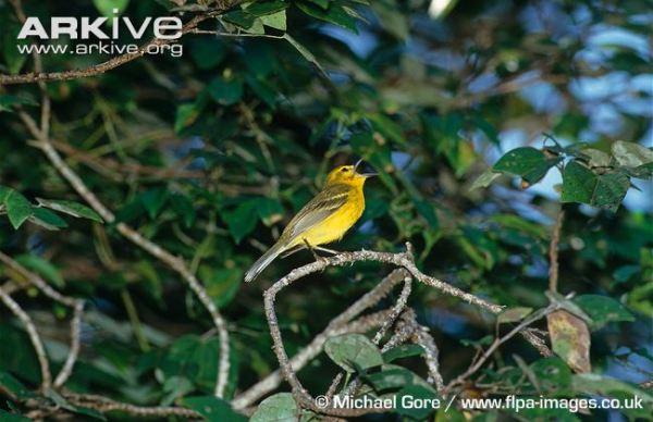 Vitelline-warbler-in-song