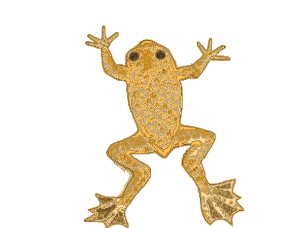 Xenopus longipes1 copy