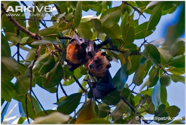 Yap flying fox photo - Pteropus yapensis - G73462 - ARKive-1