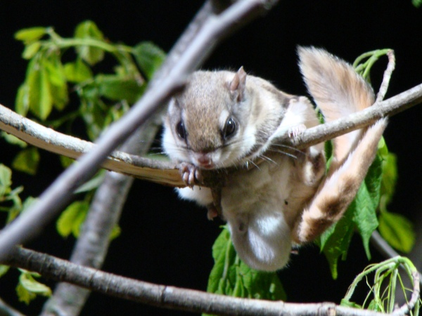 Flying squirrel by Leah on Flikr