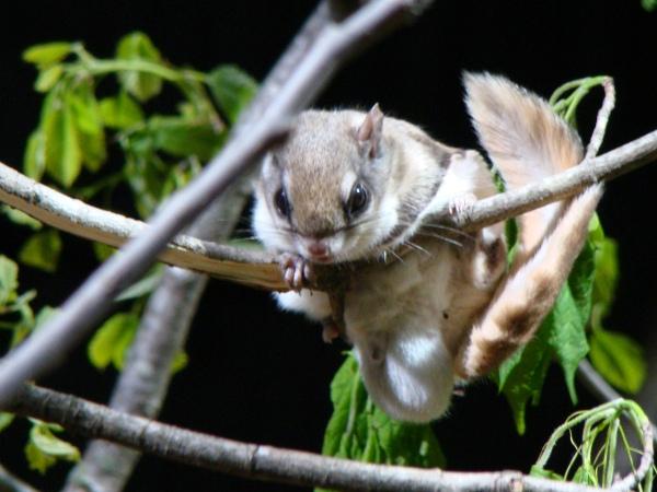 Flying squirrel by Leah on Flikr
