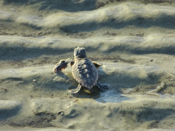 Logger head turtle