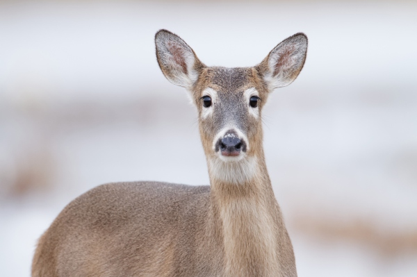 roe deer rick cameron