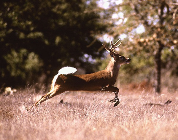white tailed deer jump