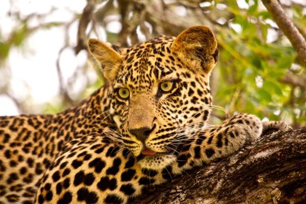 Diriye Amey - Jaguar