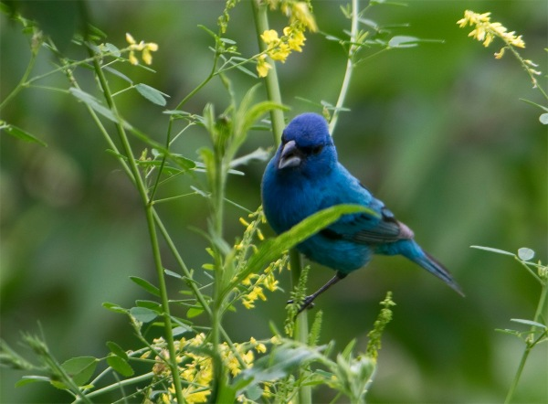Indigo Bunting, Chris by Bowman