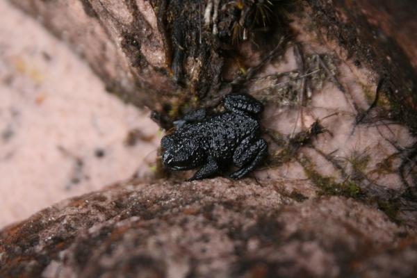 Oréophrynella nigra