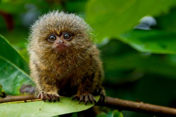 Pygmy marmoset, Day Donaldson