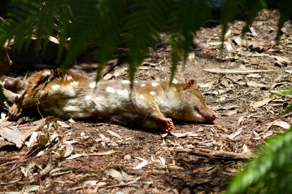 quoll by lizardstomp