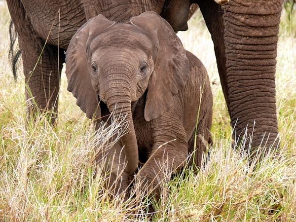 Elephant Mara 1