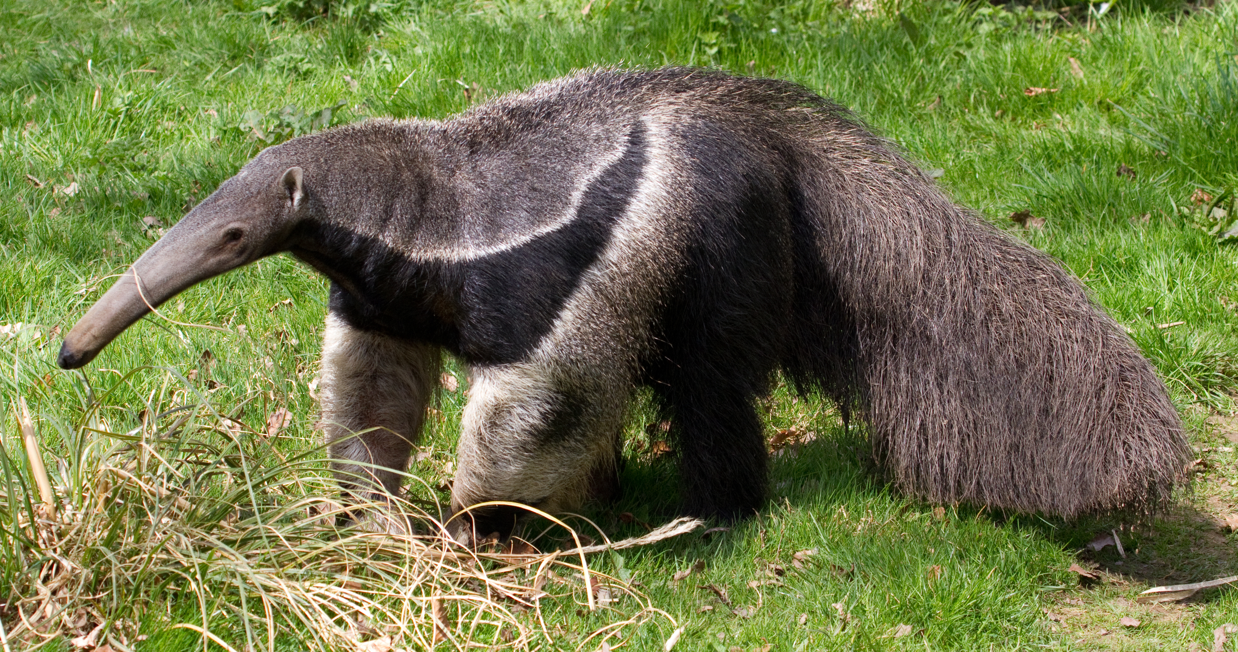 Tropical rainforest anteaters