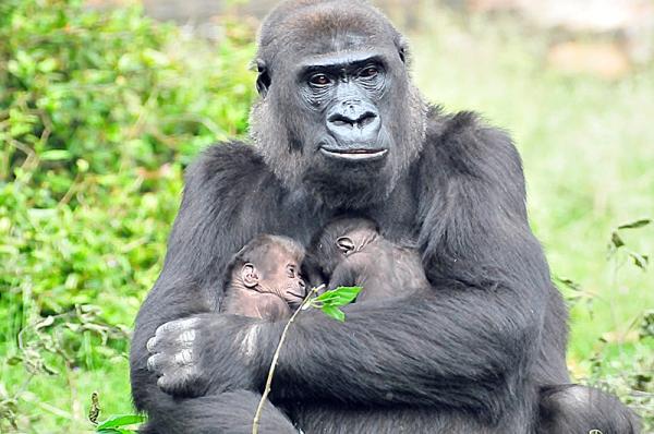 Gorilla N'Gayla twins Sabine Bresser