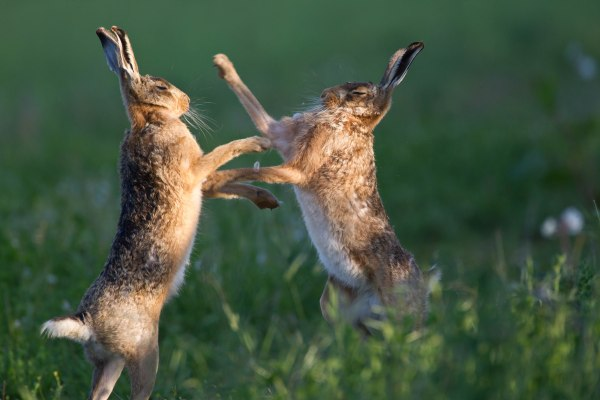 Hares, natural england allan drewitt