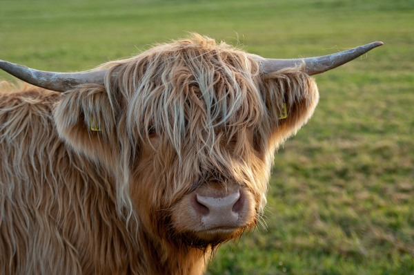 Heeland Coo by