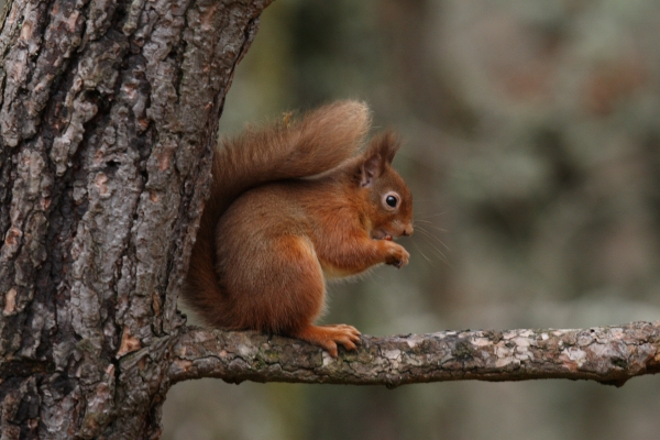 Red squirrel paul buxton