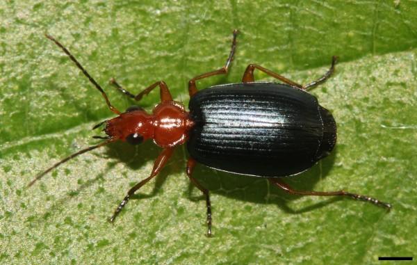 David Hill bomardier beetle