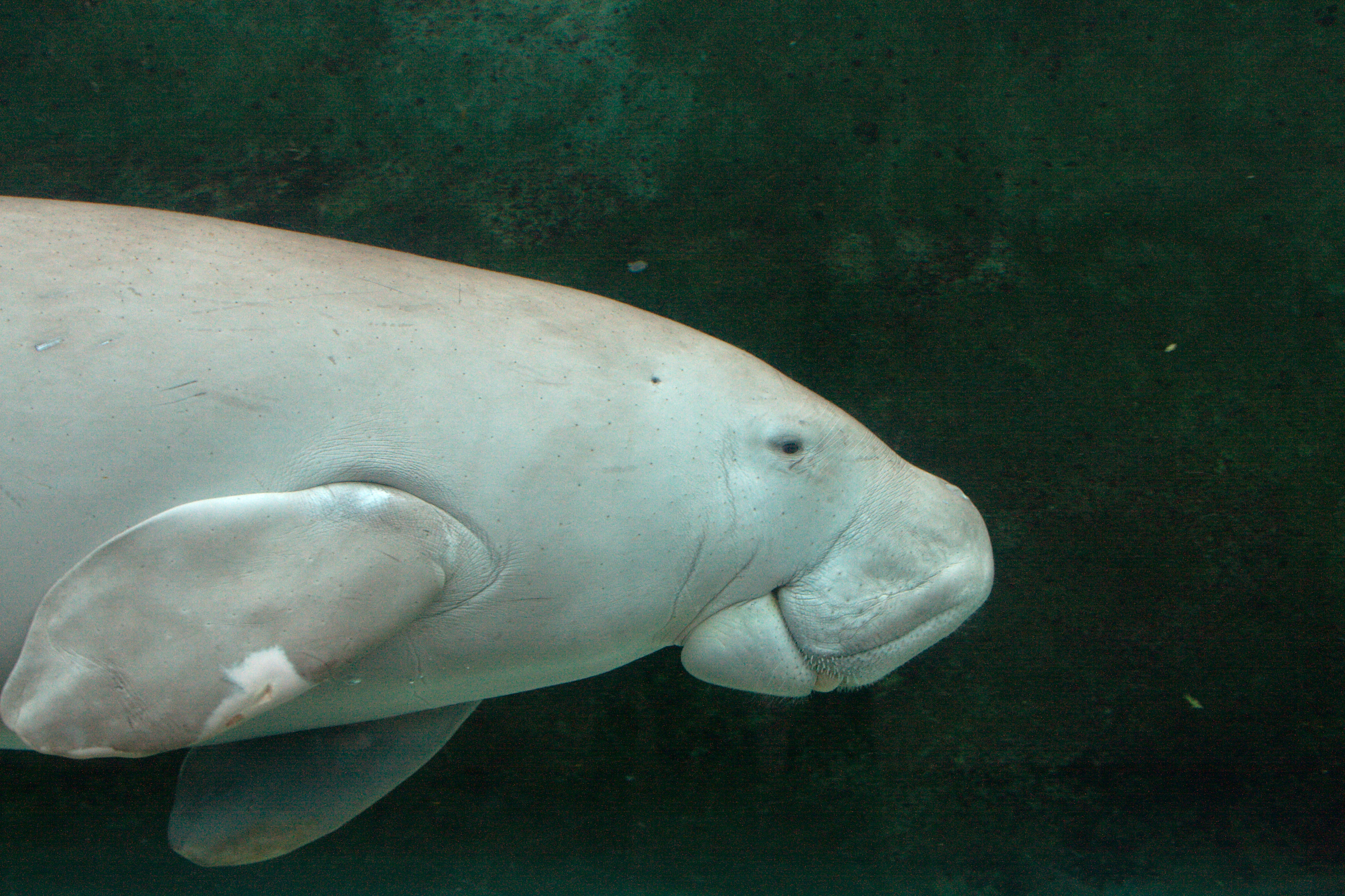 D is for Dugong   lizbrownlee - poet   3900 x 2598 jpeg 5453kB