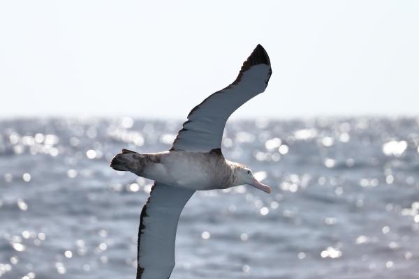 Ed Dunens wandering albatross