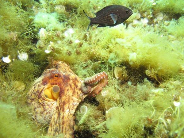 Arnaud Abadie octopus