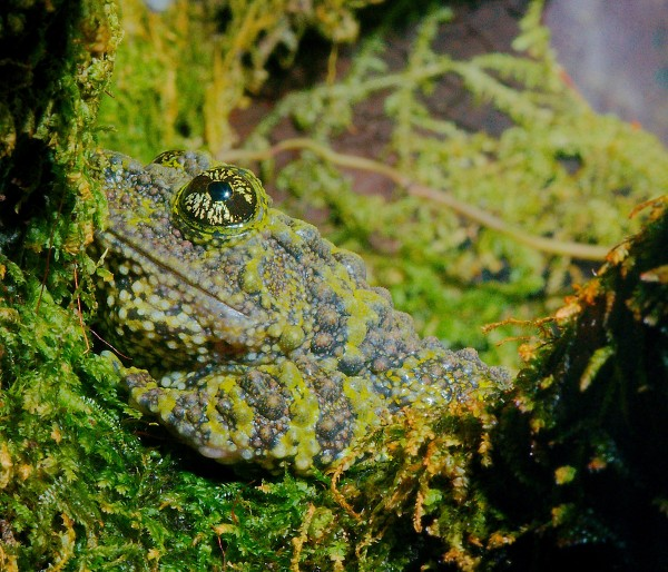 Josh More vietnamese mossy frog