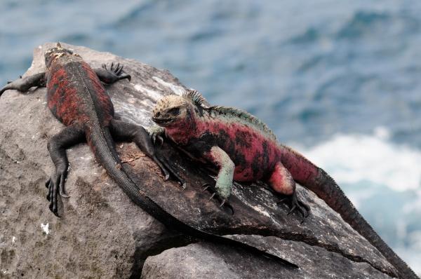 Marine Iguana Española