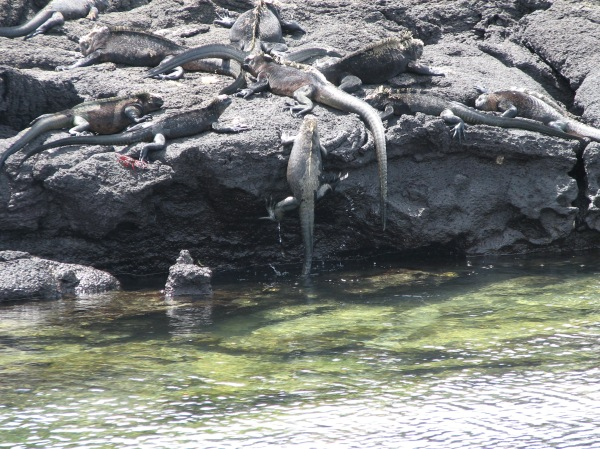 NH53 marine iguana climbing