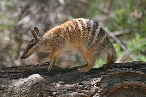 Numbat simon forsyth