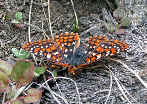Quino checkerspot butterfly Adam Braziel