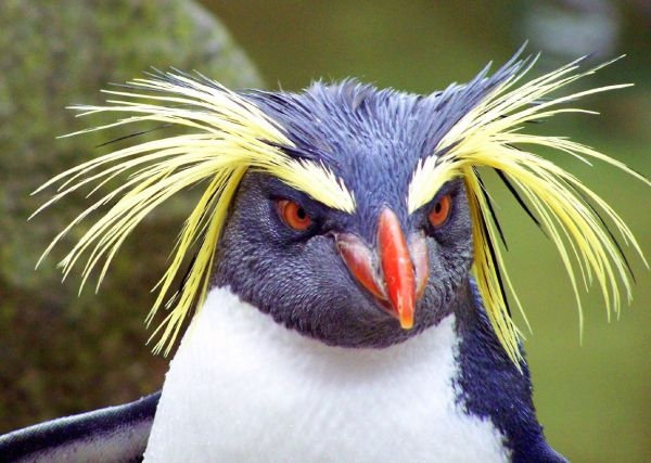 Robert Orr, rockhopper penguin