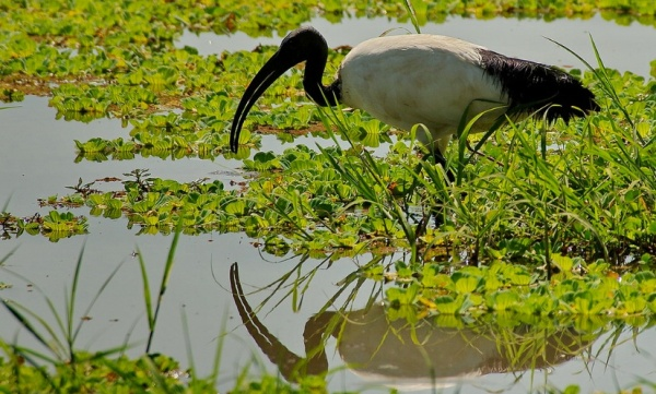 Sacred_Ibis_-_Luangwa_River__Zambia_K__36358___Flickr_-_Photo_Sharing_