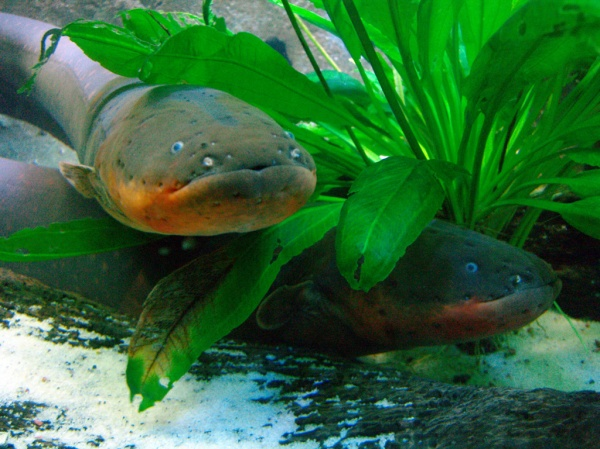 walknboston electric eel