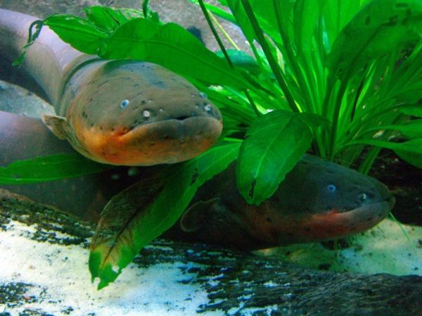 walknboston electric eel
