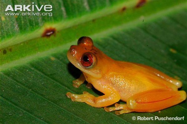 Zeteks-tree-frog